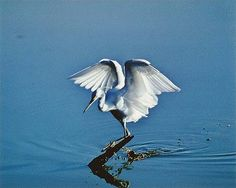 Snowy Egret, Mrazik Pond, Everglades National Park, Florida, January 1974 by Eliot Porter via cartermuseum #Egret