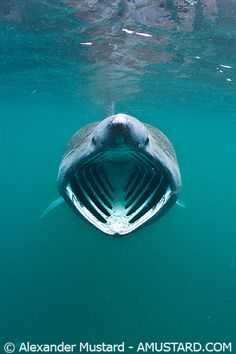 Say Ahhhhhhh  basking shark   ;)