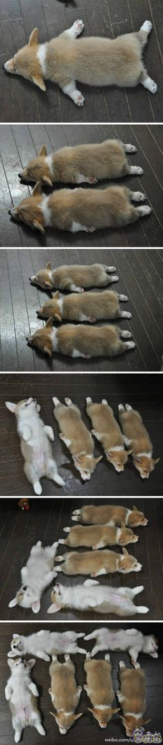 Is there anything cuter than sleepy corgis?