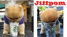 Jiffpom | Dog ► Smart Pets 2016 | jiffpom drinking | New funny Videos Ji...