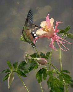 Hummingbird and Columbine flower