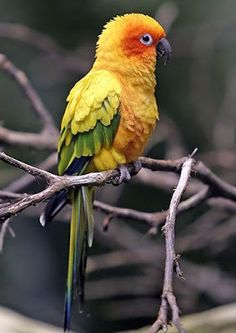 Pygmy Parrot, smallest of the species. Native to forests of New Guinea & nearby islands.
