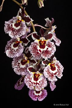 Rodrumnia Newberry ~ Tiny Dancer Orchid