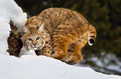 bobcats the animal | animal you bobcat the lynx resembles other species of the genus lynx ...