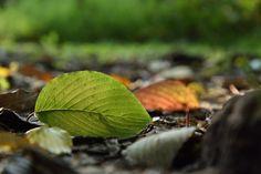 差し込む朝日に透けて見える葉脈がきれいです。向こう側には、紅く色づいた落ち葉も見えます。秋を迎えた森で広葉樹は葉を落とし始めています。 まだ Photography Portfolio, Plant Leaves, Plants, Plant, Planets