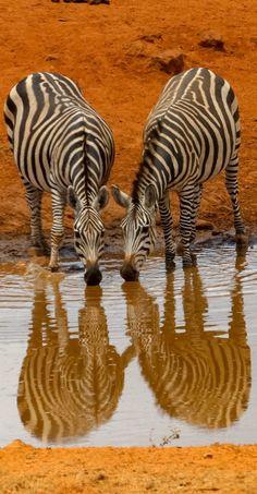 Zebra's drinking from a water hole. Beautiful Creatures, Animals Beautiful, Africa Safari Lodge, Wild Animals Photography, Mundo Animal, African Animals, Safari Animals, Africa Travel, Zebras