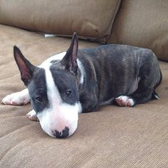 This Bull Terrier Pup is absolutely adora-bull!   www.bullymake.com