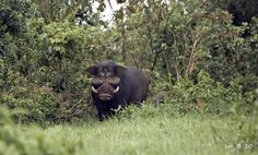 Giant Forest Hog (Hylochoerus meinertzhageni) photographed by Ian in Kenya on 18th October 2010. This is the largest pig of the 16 pig species (family Suidae) in the world and can weigh between 180-275 kg.