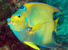 Florent's Guide To The Tropical Reefs - Queen Angelfish - Holacanthus ciliaris - Angelfishes - - Angelfishes - Caribbean, Bahamas, Florida, Bermuda, Gulf of Mexico - Saltwater Tank, Saltwater Fishing, Fish Breeding, Ocean Tattoos, Beautiful Sea Creatures, Salt Water Fish, Wale, Angel Fish, Beautiful Fish