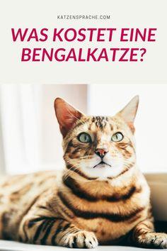 Die Bengalkatze zählt zu den Katzenrassen, welche in der Anschaffung schon etwas teurer sind. Welchen Preis ein Züchter für eine Bengalkatze verlangen kann, hängt von verschiedenen Faktoren ab. Erfahre mehr >>> #belgalkatze #bengal #bengalkatzekaufen #bengalkatzezüchter #bengalkatzegröße #bengalkatzekosten #katzen #bengalkatzecharakter