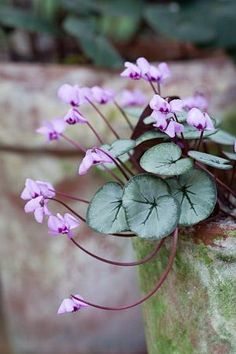 """The immortality of flowers must enrich our own, and we certainly should resent a redemption that excluded them."" Emily Dickinson - letter to Mrs Tuckerman 1877. [Pin credit - Cyclamen Hederifolium]"