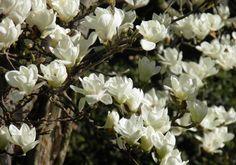 Magnolia denudata (M.yulan)