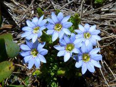 Gentiana sedifolia [Family: Gentianaceae] - Flickr - Photo Sharing!