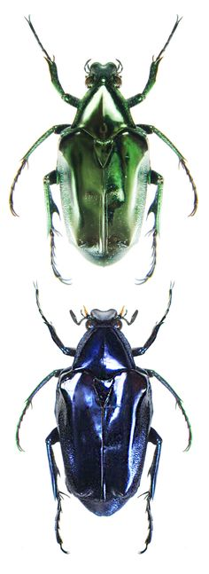 Plectrone endroedii, males