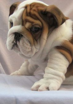 5 Cutest Bulldog puppies you have ever seen, she looks so adorable, the best one among five :)
