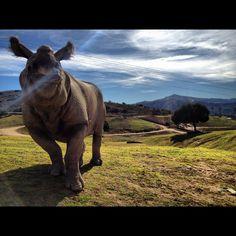 Tanaya, greater one-horned rhino at the San Diego Zoo Safari Park.