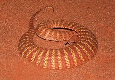 Desert Death Adder