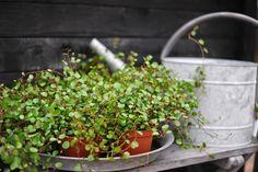 """Slideranka """"plättar i luften"""" – Muehlenbeckia complexa. Inomhusväxt som kan stå ute på sommaren. Tål inte uttorkning. Måttlig gödning."""