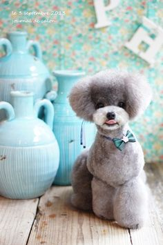 Poodle modified teddy