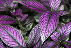 Image result for persian shield