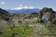 Cerisiers en fleurs sur fond de Canigou enneigé, depuis les hauteurs de Céret