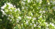 Cretan herbs are popular all over the world for their aromatic and medicinal properties! Discover them on your Crete holidays! Crete Holiday, Medicinal Herbs, Greece, Healing, Island, Nature, Plants, Food, Dear Diary