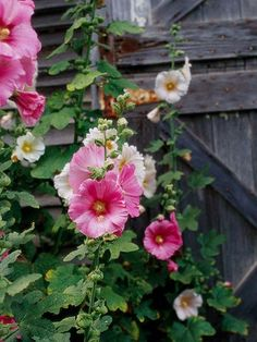 Hollyhocks- tall, huge amounts of flowers, and reseed themselves :)