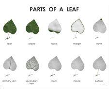Free Montessori Botany Materials at Living Montessori Now (Image from ETC Press)
