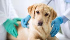 Alors que le ministère de l'Agriculture renouvelle sa campagne de sensibilisation contre la rage, la Fondation 30 Millions d'Amis rappelle que la vaccination antirabique protège vos animaux ! - Lancée pour la 2e année consécutive, « Gare à