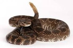 Rattlesnake venom is very toxic and can be deadly, especially for smaller pets and/or pets that have not been vaccinated. Description from vetconm.com. I searched for this on bing.com/images