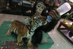 Maternal Chimpanzee feeds baby tiger. Crazy!