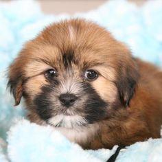 Bourbon | Teddy Bear [Bichon Frise & Shih Tzu]  #Teddybear #bichon #bichonfrise #shihtzu #teddybearsofpinterest #lovemypuppy #lovemypuppyboca #puppy #puppies #dog
