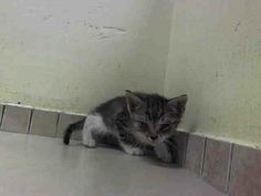 Safe! TO BE DESTROYED 6/12/14 ** BABY ALERT!!  Male intact..eating on its own Tolerates all handling MPOD and MPND ** Brooklyn Center  My name is CARL. My Animal ID # is A1002518. I am a male brn tabby and white domestic mh mix. The shelter thinks I am about 5 WEEKS old.  I came in the shelter as a STRAY on 06/08/2014 from NY 11224, owner surrender reason stated was STRAY. I came in with Group/Litter #K14-180414.