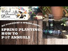 My #starbucks & spring series, HOW TO REPOT ANNUALS