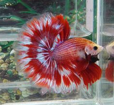 Red devil betta