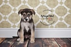 Elvis is an adoptable German Shepherd Dog, Husky Dog in Calgary, AB Follow along on my blog! http://ourARFdogs.wordpress.comFill out an application !  http://arf ... ...Read more about me on @Petfinder.com.com