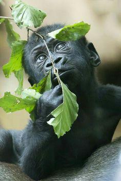 "A Cute Baby Gorilla.  ""Adorable, Cute Baby Animals"""