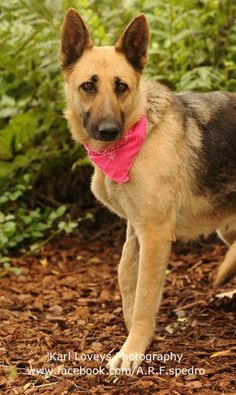 SOS ** ON MEDICAL ALERT ** Giselle is a stunning beauty. GISELLE - ID#A1383780 My name is Giselle and I am an unaltered female, tan and black German Shepherd Dog.I am about 5 years old. I weigh approximately 62 pounds. I have been at the shelter since Apr 10, 2013. Harbor Animal Care and Control Center at (888) 452-7381 Kennel Supervisor, Hal Moore city cell 213.305.8732 Hal.Moore@lacity.org Kennel Supervisor, Gerald Hill, city cell 213.305.8312 gee.hill@lacity.org