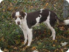Atlanta, GA - Brittany/Border Collie Mix. Meet TN/Addy, a dog for adoption. http://www.adoptapet.com/pet/15892955-atlanta-georgia-brittany-mix