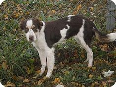 Atlanta, GA - Brittany/Border Collie Mix. Meet TN/Addy, a dog for adoption. http://www.adoptapet.com/pet/15892955-atlanta-georgia-brittany-mix