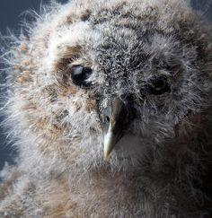 Baby Owl in Studio