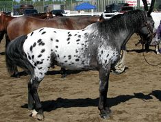 The Pony of the Americas is a relatively new western pony breed that comes from the United States. However, their original bloodlines, that of the Appaloosa are very, very old and can be traced back to central Asia.