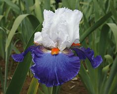 d-day grape iris