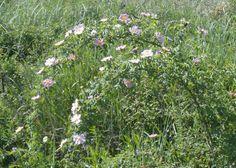 And a whole bush of wild roses / Credit: communicationxdevelopment.wordpress.com