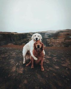 Golden Retriever Puppies Brothers Credit - can you guess? - Please check Animals And Pets, Baby Animals, Funny Animals, Cute Animals, Beautiful Dogs, Animals Beautiful, Beautiful Couple, Beautiful Flowers, Cute Puppies