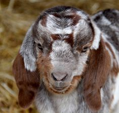 83 Best Goats images in 2019