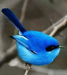 just a blue bird on a black and white branch