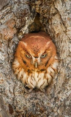 ~~Eastern Screech Owl | taken at the Okefenokee National Wildlife Refuge in Georgia. Okefenokee is like no other place on earth, where natural beauty and wilderness prevail. It preserves the Okefenokee Swamp, providing vital habitats for birds, reptiles and other wildlife | by Graham McGeorge~~