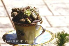 Creative DIY garden container ideas - Teacup planted with succulents