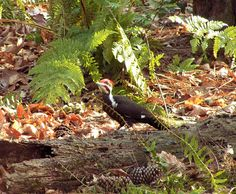 Pileated woodpecker #3.